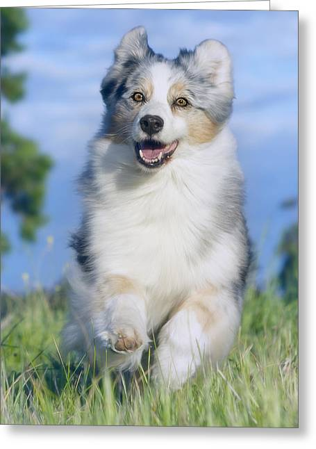 Working Dog Greeting Cards - Australian Shepherd 2 Greeting Card by Wolf Shadow  Photography