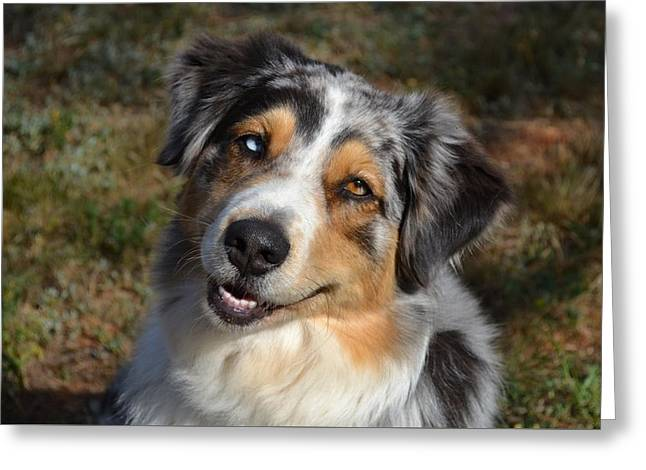 Dogs Pyrography Greeting Cards - Australian Shepherd   Greeting Card by Denise Walding