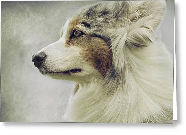 Australian Shepherd Greeting Cards - Australian Shepherd Portrait 1 Greeting Card by Wolf Shadow  Photography