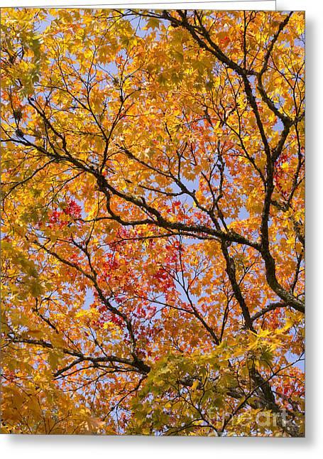 Autumn Acer Palmatum Matsumurae Greeting Card by Tim Gainey
