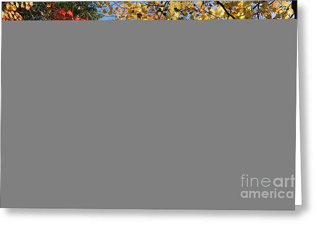 Autumn Acer Vitifolium Greeting Card by Tim Gainey