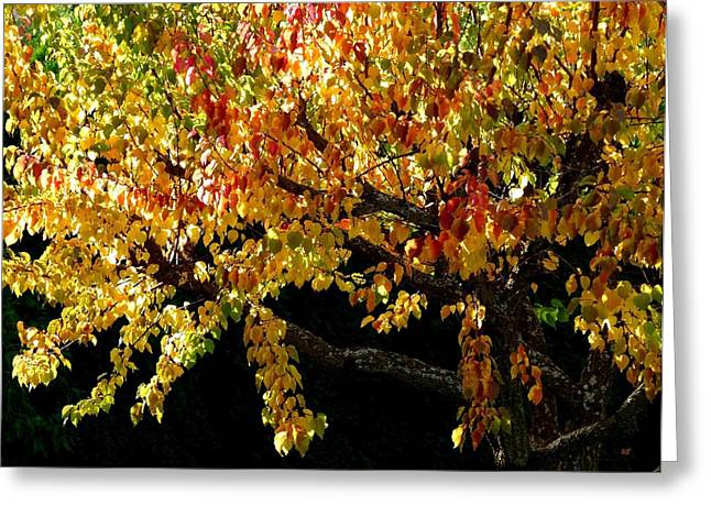Apricot Greeting Cards - Autumn Apricot Tree Greeting Card by Will Borden
