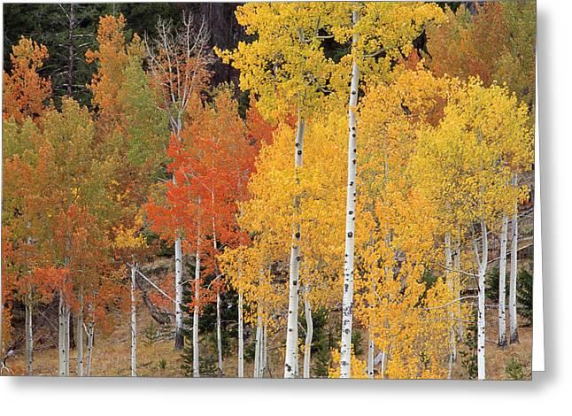 British Columbia Greeting Cards - Autumn Aspen Trees Greeting Card by David Nunuk