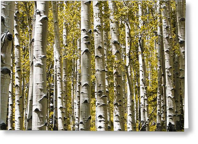 Nature Study Photographs Greeting Cards - Autumn Aspens Greeting Card by Adam Romanowicz