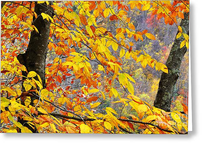 Allegheny Greeting Cards - Autumn Beech Leaves  Greeting Card by Thomas R Fletcher