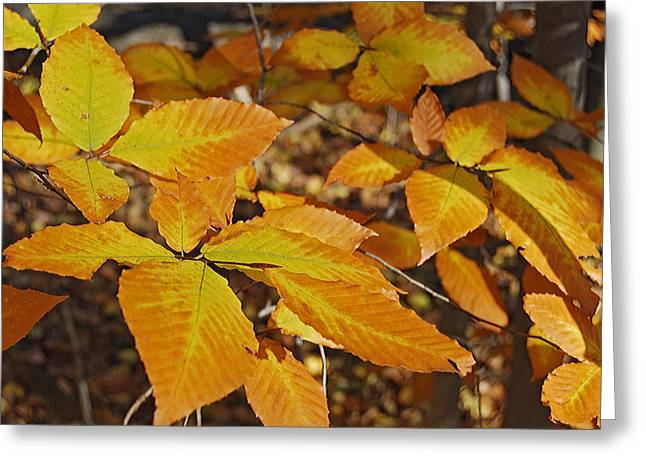 Autumn Photographs Greeting Cards - Autumn Beech  Greeting Card by Michael Peychich