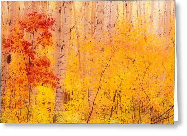 Birch Tree Greeting Cards - Autumn Forest Wbirch Trees Canada Greeting Card by Panoramic Images
