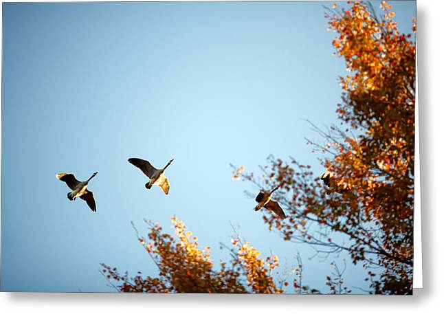Autumn Geese Greeting Card by Todd Klassy