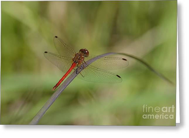Meadowhawk Greeting Cards - Autumn Meadowhawk Greeting Card by Randy Bodkins