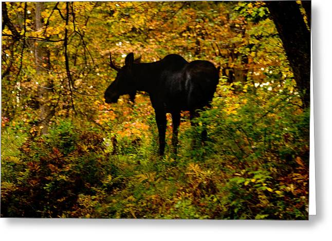 Brent L Ander Greeting Cards - Autumn Moose Greeting Card by Brent L Ander