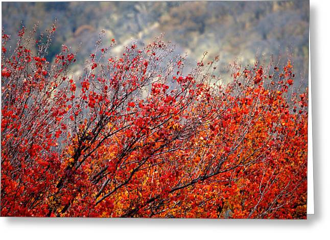 Solano's Autumn Red Greeting Card by Josephine Buschman