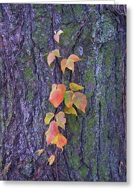 Autumn Vine Leaves On Tree Trunk    Indiana Greeting Card by Rory Cubel