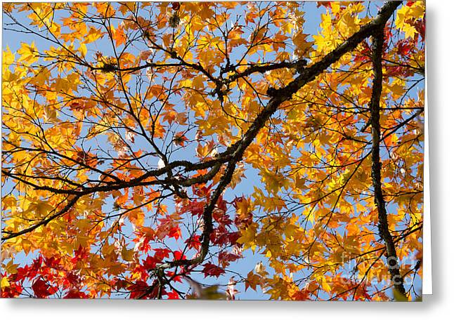 Autumnal Acer Palmatum Matsumurae Greeting Card by Tim Gainey