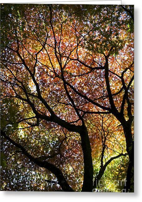 Autumnal Acer Palmatum Westonbirt Orange Greeting Card by Tim Gainey