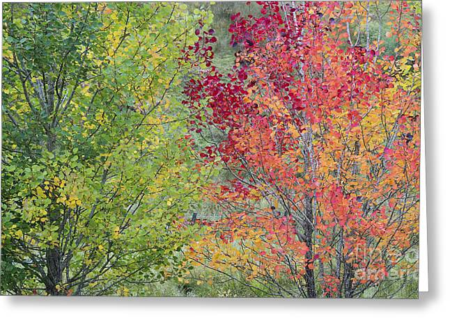 Autumnal Aspen Trees Greeting Card by Tim Gainey