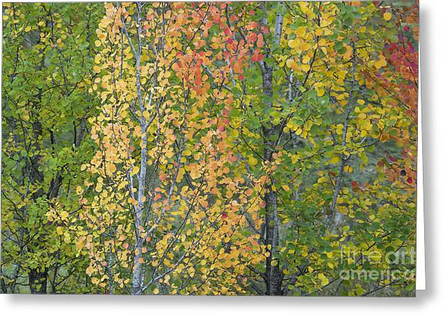 Autumnal Aspens Greeting Card by Tim Gainey