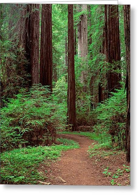 Avenue Of The Giants Rockefeller Grove Greeting Card by Panoramic Images