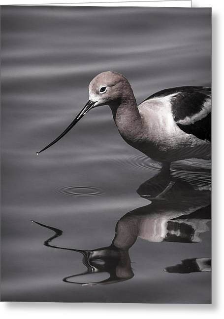 Glassy Wing Greeting Cards - Avocet Water Reflections Greeting Card by Vicki Stansbury