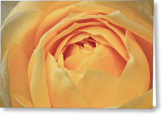 Macro Finalized Photographs Greeting Cards - Awakening Yellow Bare Root Rose Greeting Card by Ryan Kelly