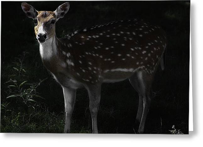 Barry Styles Greeting Cards - Axis Deer 3 Greeting Card by Barry Styles