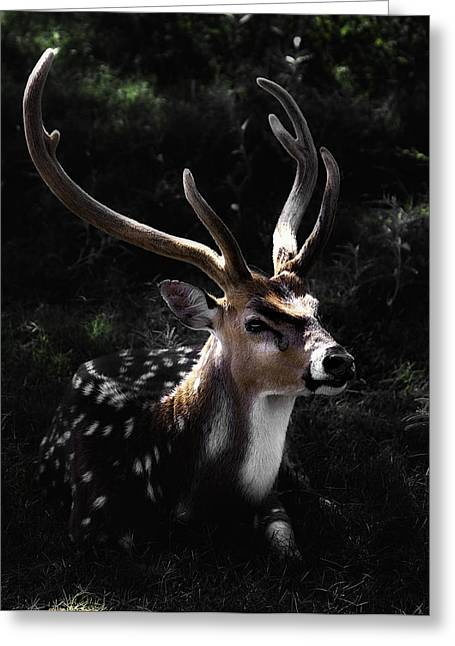 Barry Styles Greeting Cards - Axis Deer 4 Greeting Card by Barry Styles