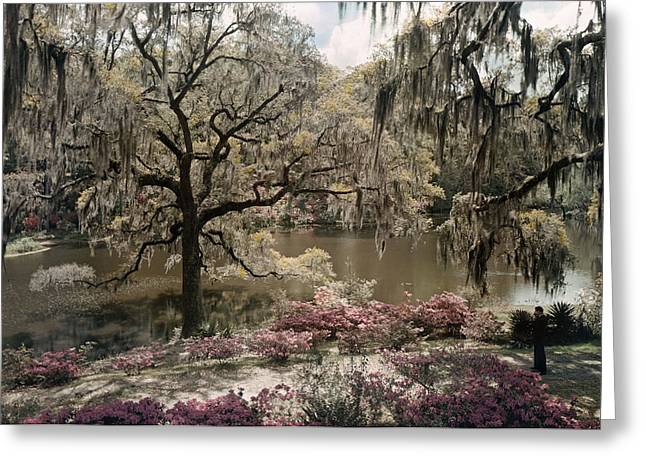 Moss Man Greeting Cards - Azaleas And Spanish Moss Decorate Greeting Card by B. Anthony Stewart