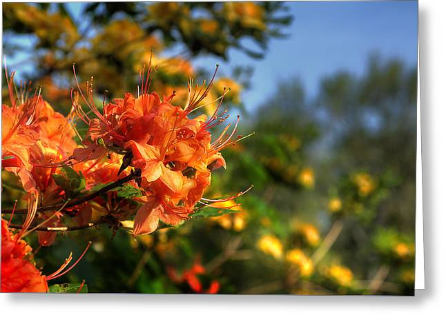 Red Photographs Greeting Cards - Azaleas  Greeting Card by Rick Mosher
