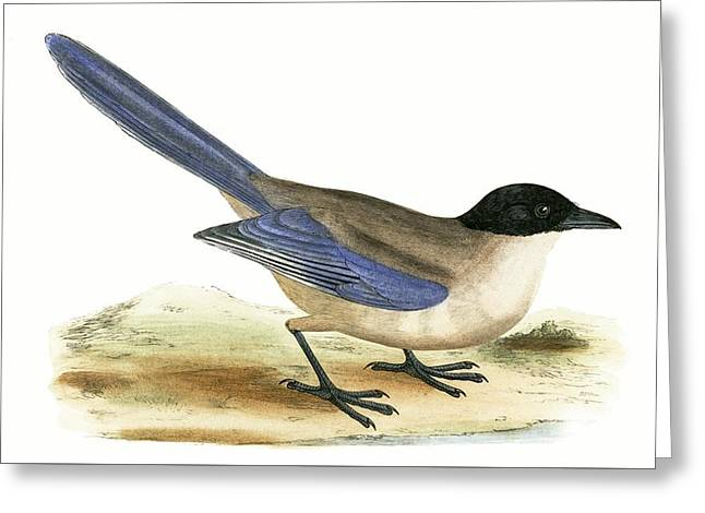 Azure Winged Magpie Greeting Card by English School