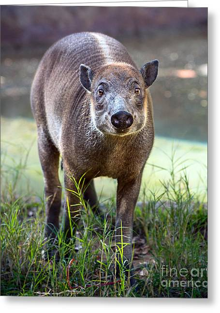 Piglets Greeting Cards - Babirusa Youngster Greeting Card by Jamie Pham