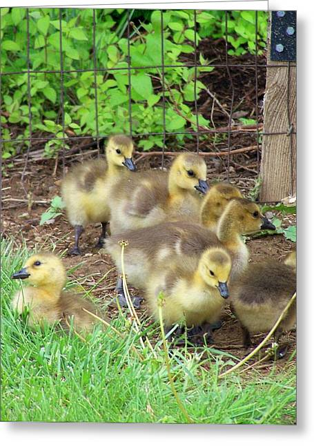 Ducklings Digital Greeting Cards - Baby Baby Greeting Card by Vijay Sharon Govender