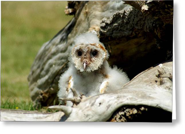 Nocturnal Animal Print Greeting Cards - Baby Barn Owl Greeting Card by John Turner
