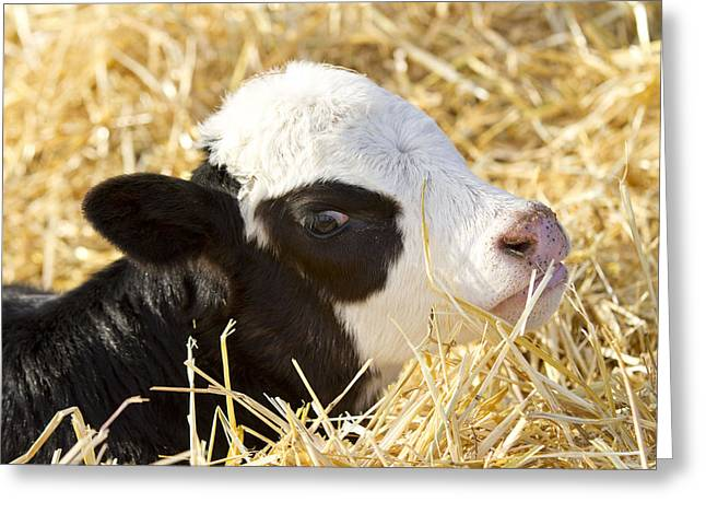 Angus Steer Greeting Cards - Baby Beef Calf Greeting Card by Cat Hesselbacher
