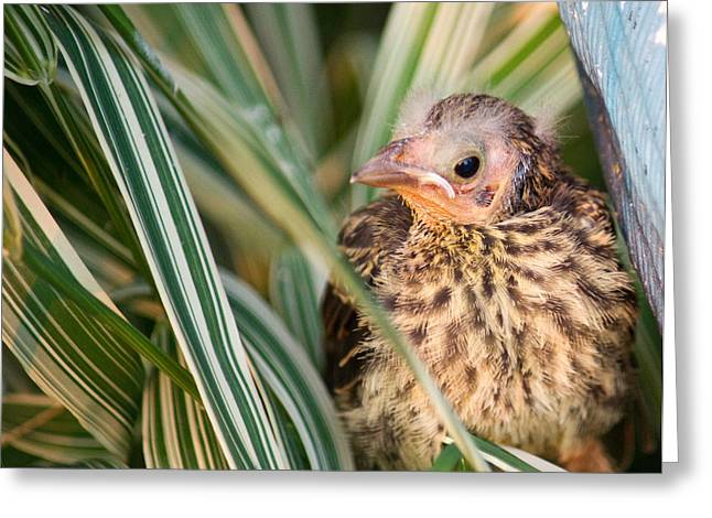 Baby Bird Peering Out Greeting Card by Douglas Barnett