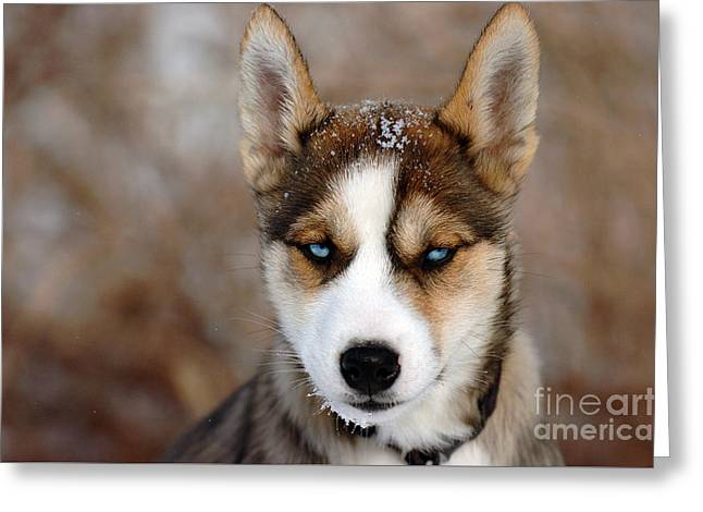 Husky Greeting Cards - Baby Blue Eyes Greeting Card by Kristin Lam