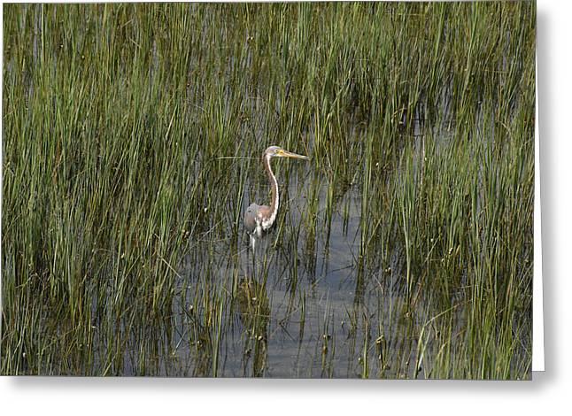 Nature Center Greeting Cards - Baby Blue Heron Charleston SC Greeting Card by Joan Kaplan