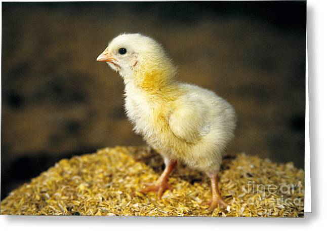 Fluffy Chickens Greeting Cards - Baby Chick Standing On Wood Chips Greeting Card by Inga Spence