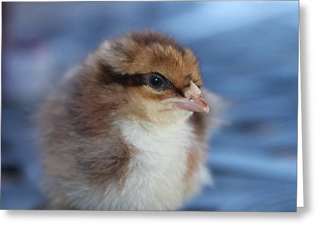 Fluffy Chickens Greeting Cards - Baby Chicken Greeting Card by Angie Wingerd