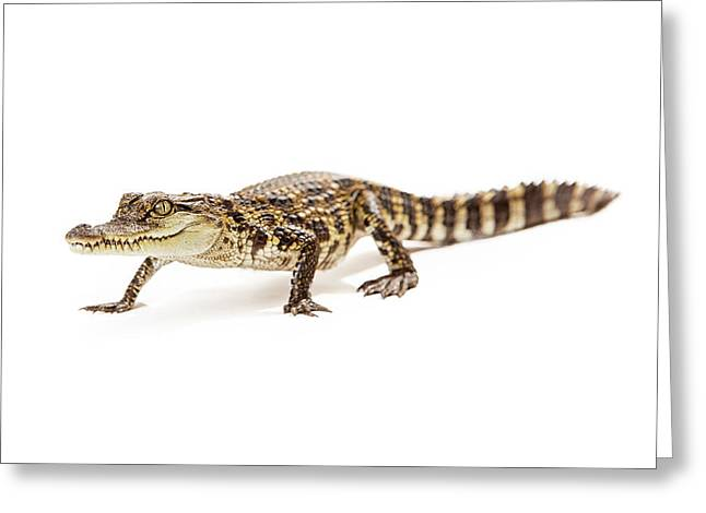Wetland Greeting Cards - Baby crocodile walking forward Greeting Card by Susan  Schmitz