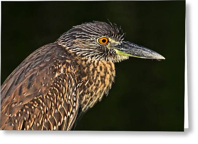 Juvenile Wall Decor Greeting Cards - Baby Face - Yellow-crowned Night Heron  Greeting Card by HH Photography of Florida