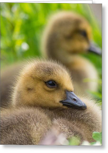 Concord Greeting Cards - Baby Geese Greeting Card by Phillip McNeil