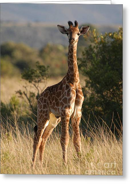 Calf Photographs Greeting Cards - Baby Giraffe Greeting Card by Andy Smy