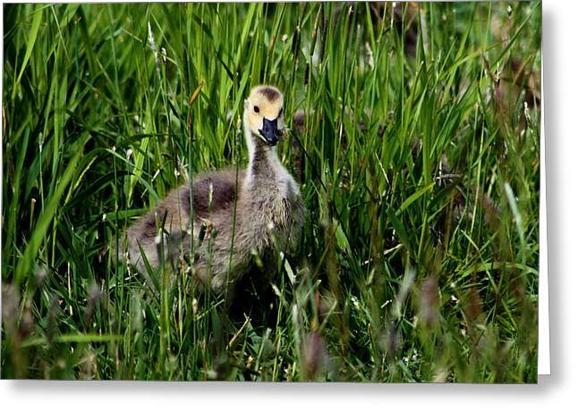 Geese Greeting Cards - Baby Goose in the Grass Greeting Card by Nick Gustafson