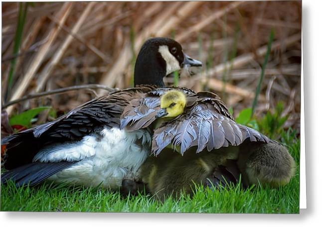 Mother Goose Greeting Cards - Baby Goose Under Moms Wing Greeting Card by Henry Kowalski