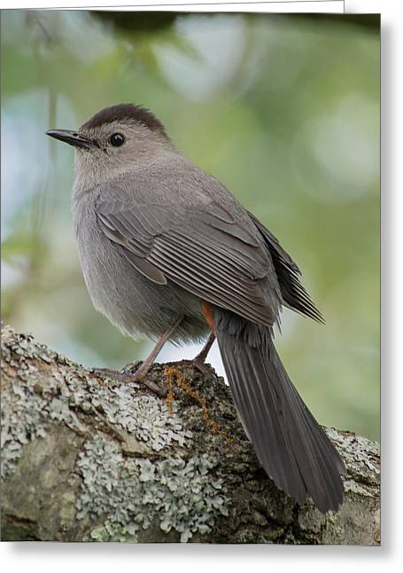 Concord Greeting Cards - Baby Gray Catbird Greeting Card by Phillip McNeil