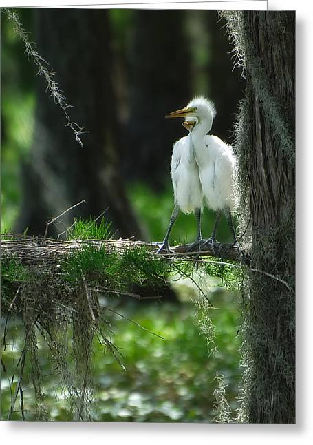 Baby Great Egrets With Nest Greeting Card by Rich Leighton