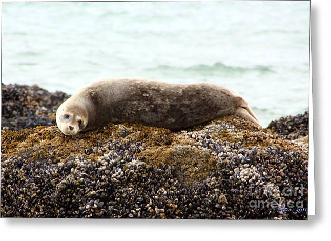 Harbor Seals Greeting Cards - Baby Harbor Seal on a Rock Greeting Card by Nick Gustafson