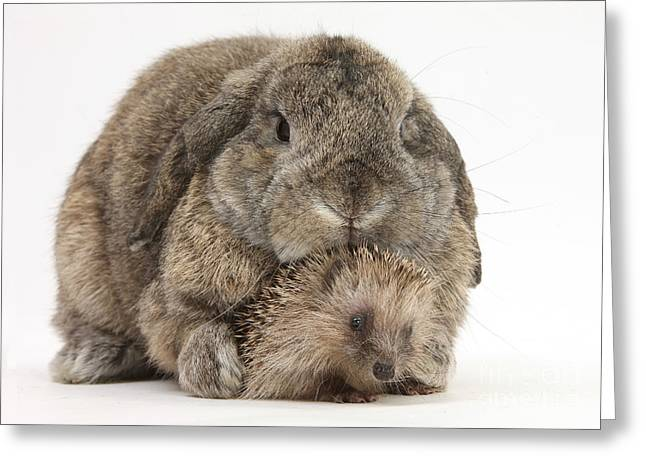 Baby Hedgehog And Agouti Lop Rabbit Greeting Card by Mark Taylor