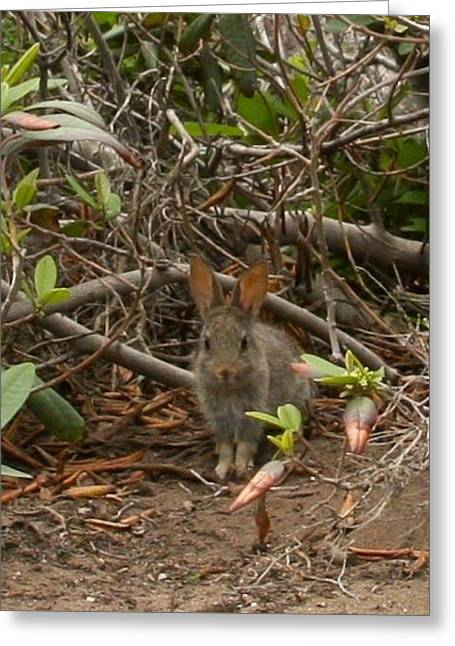 Big Sur Greeting Cards - Baby Jackrabbit Greeting Card by Patricia  Wensel