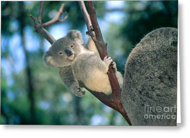 Baby Koala Bear Greeting Card by Himani - Printscapes