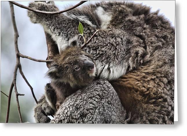 Baby Koala V2 Greeting Card by Douglas Barnard
